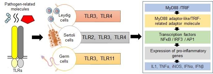 Toll receptor male infertility
