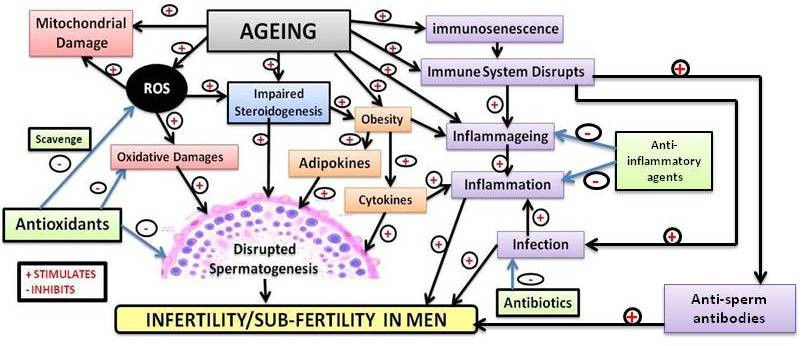 age and male fertility